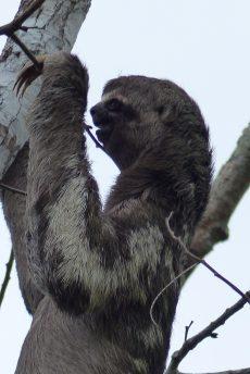 Sloth in Peru
